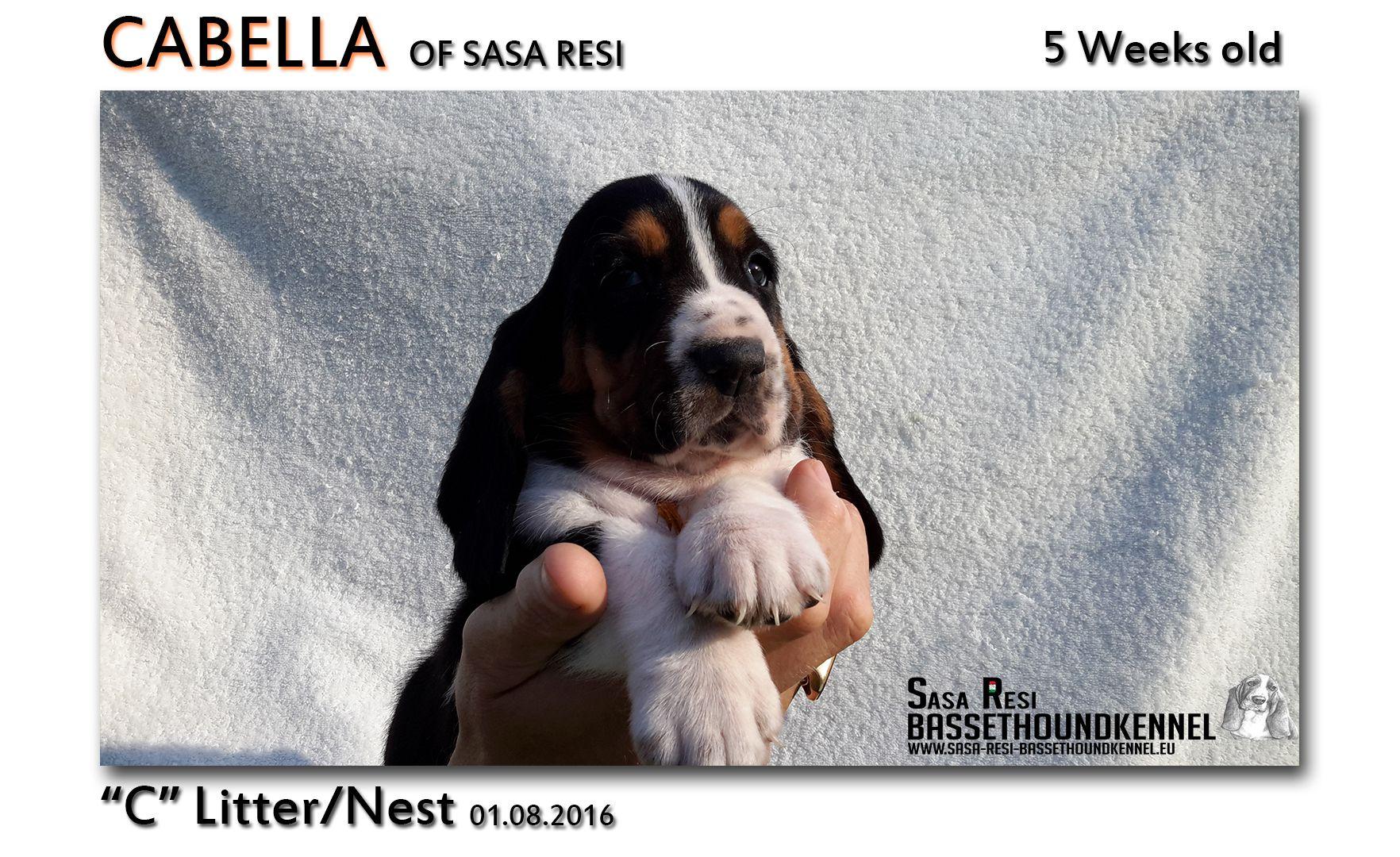 1 compressed 1 SaSa ReSi Bassethoundkennel