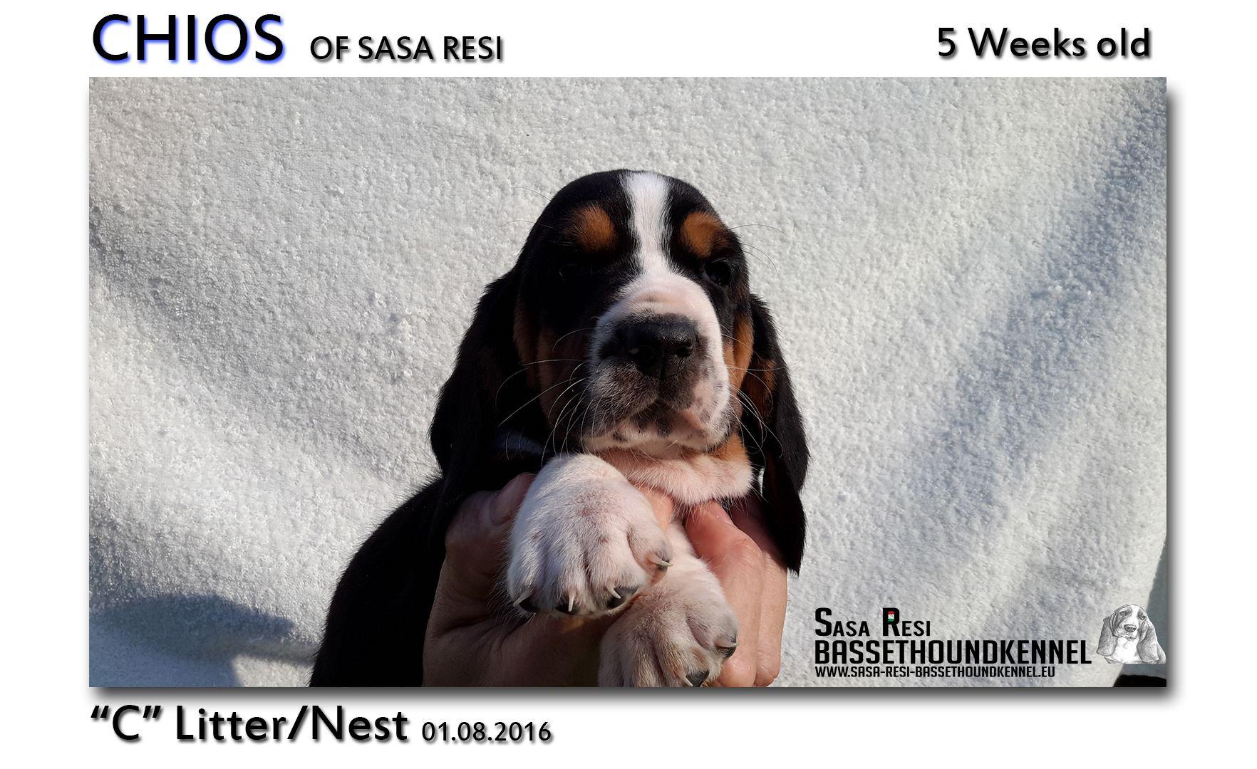 1 compressed 2 SaSa ReSi Bassethoundkennel