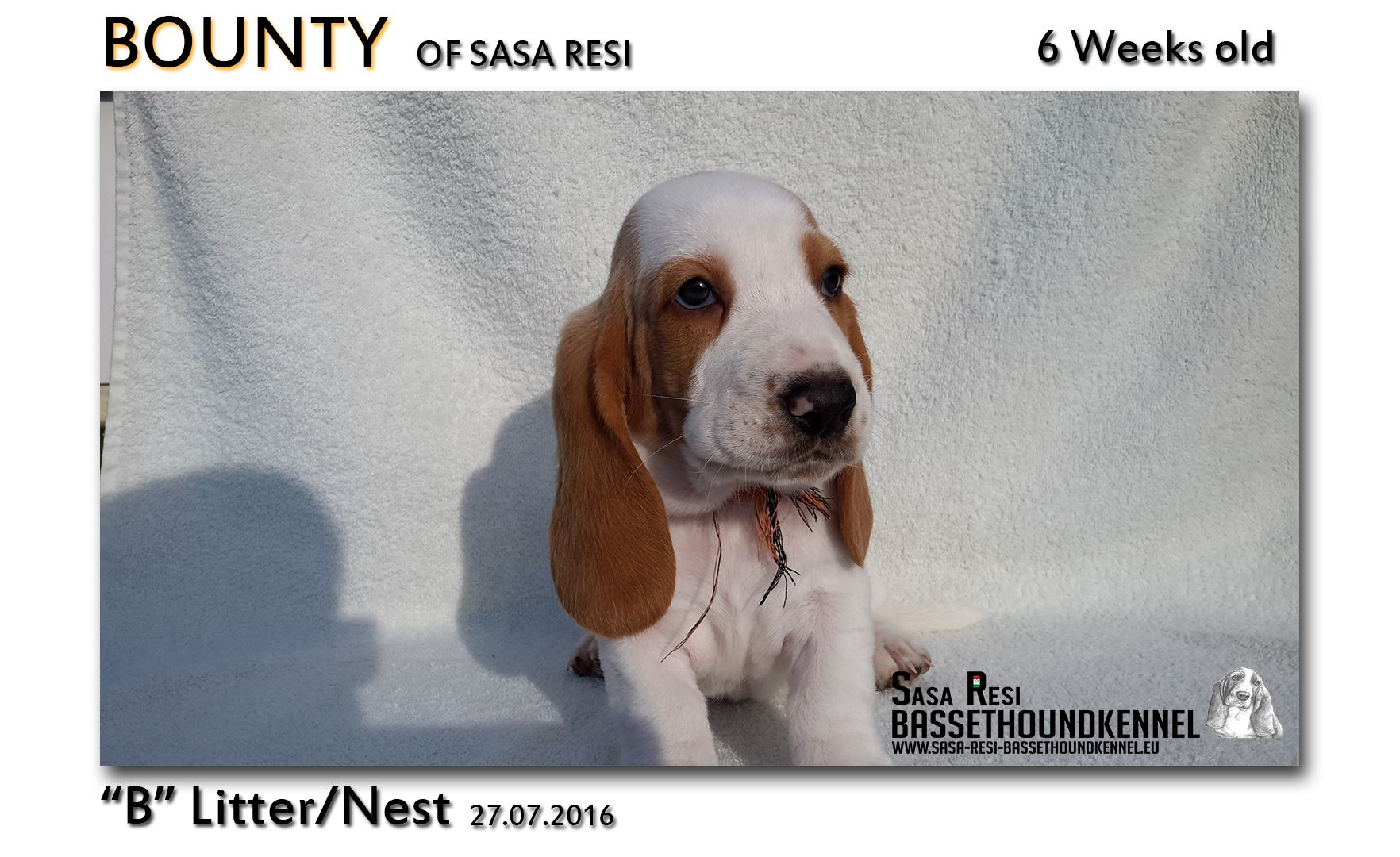 1 compressed 5 SaSa ReSi Bassethoundkennel