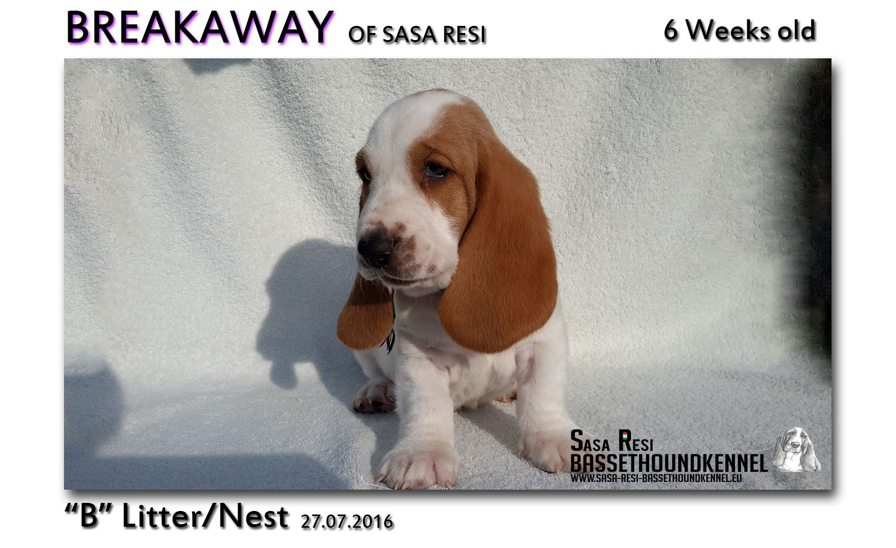 1 compressed 7 SaSa ReSi Bassethoundkennel