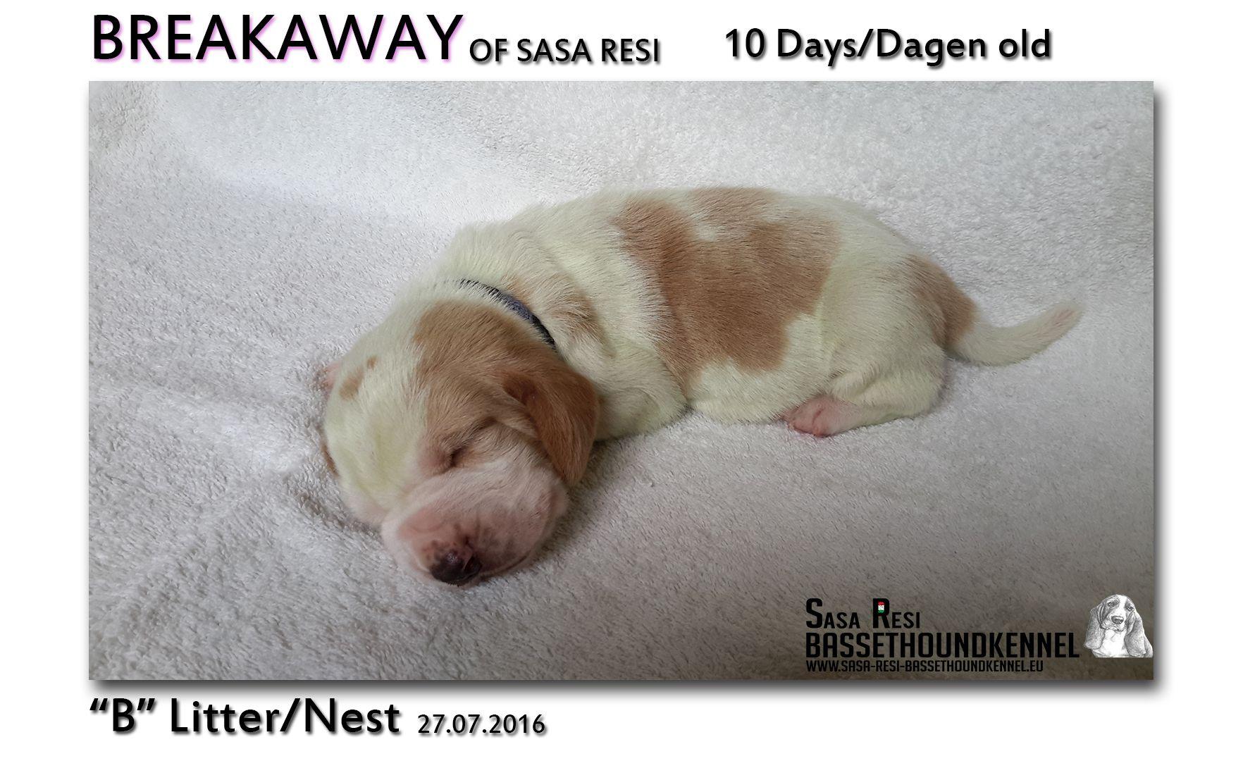 3 1 SaSa ReSi Bassethoundkennel