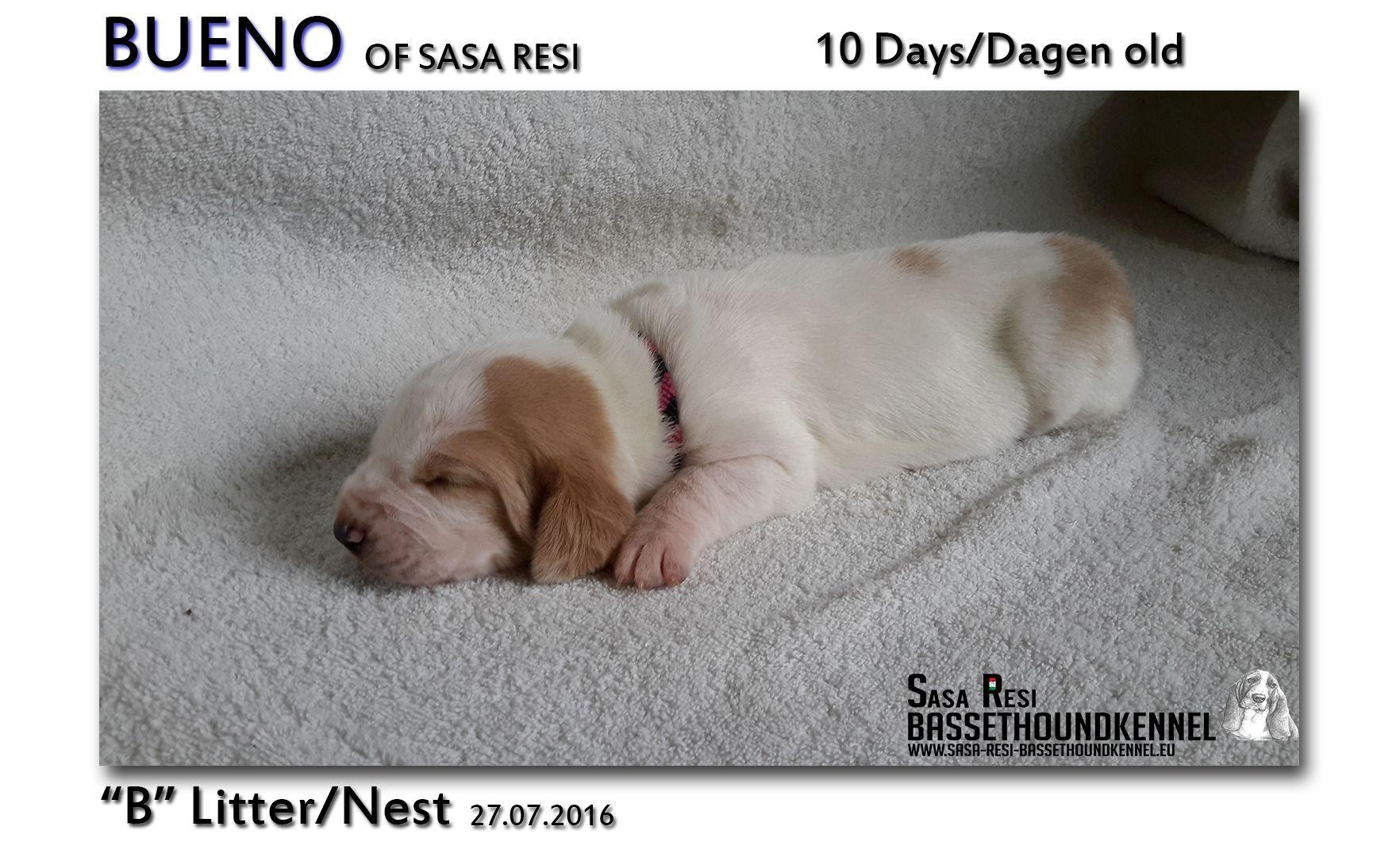 3 2 SaSa ReSi Bassethoundkennel
