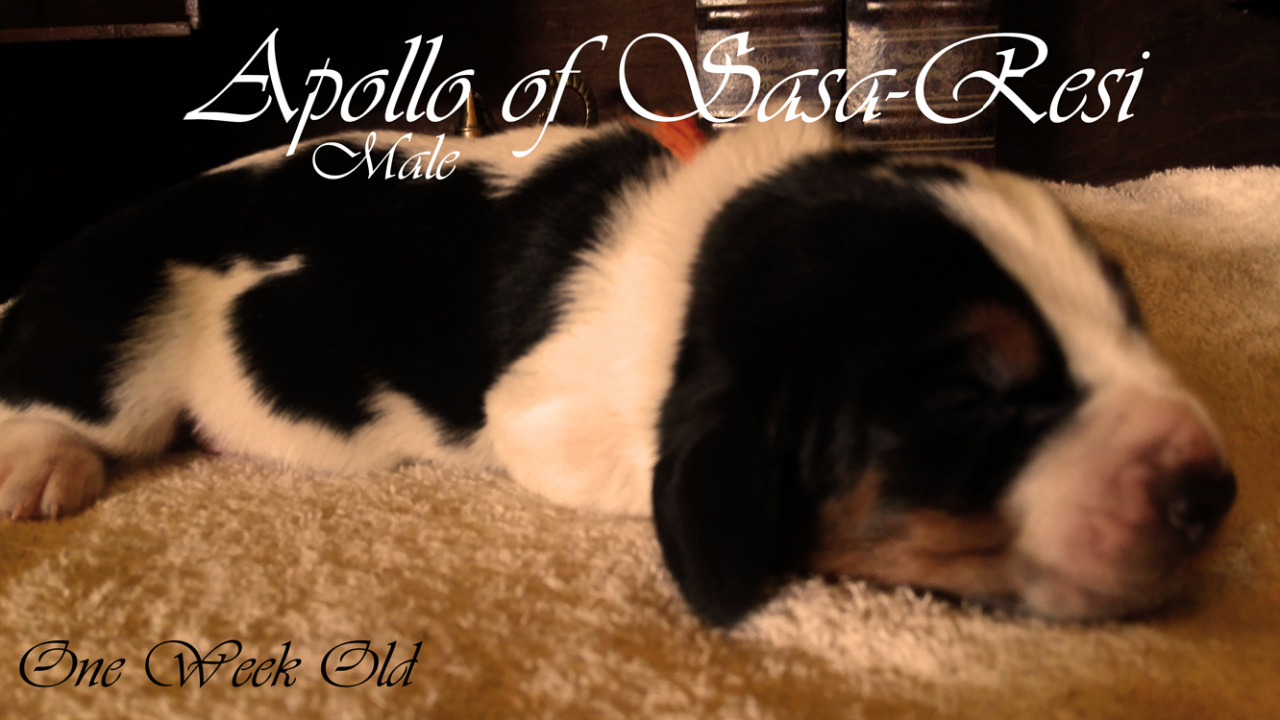 Apollo SaSa ReSi Bassethoundkennel