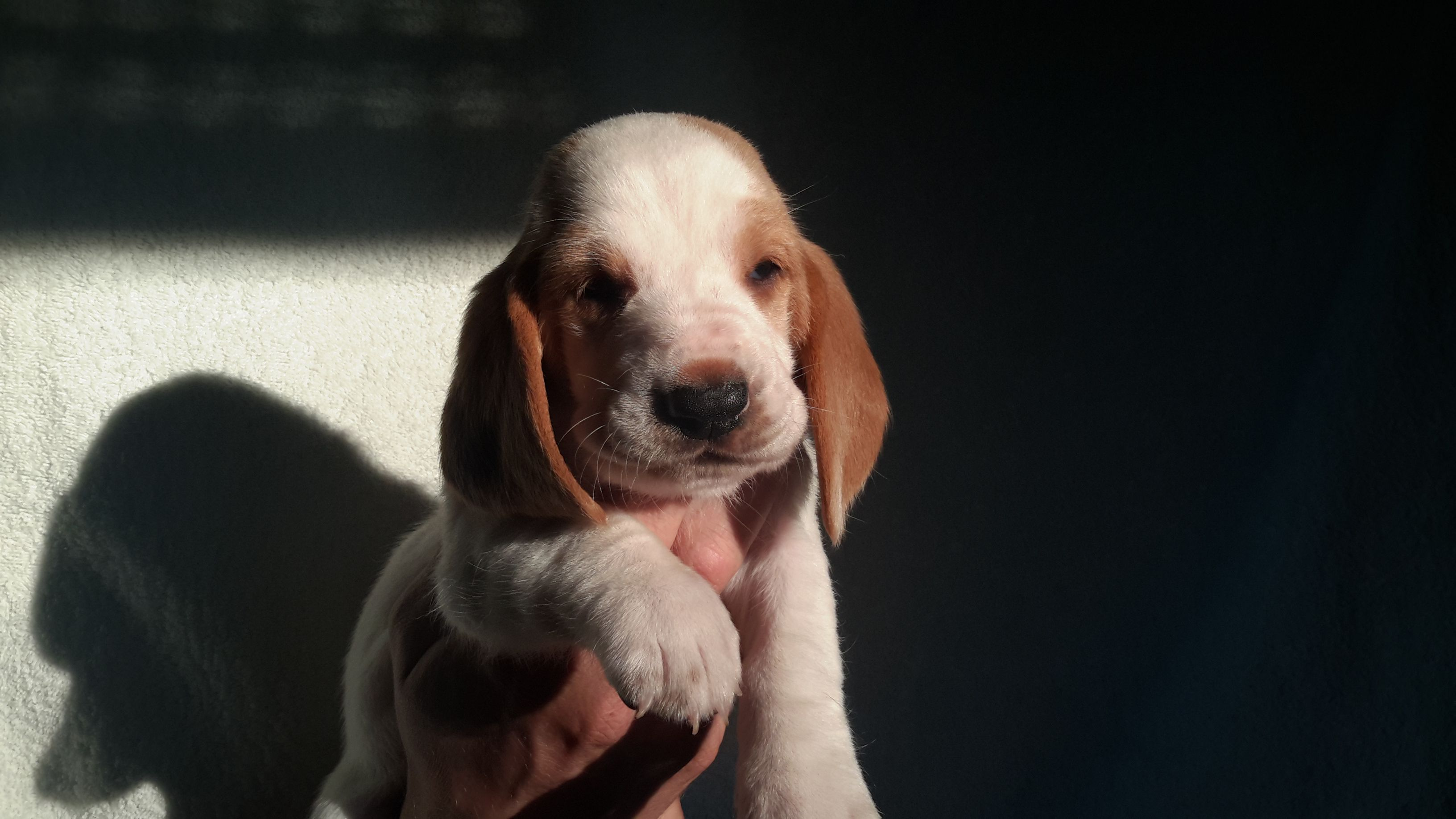 20160823 183525 compressed SaSa ReSi Bassethoundkennel