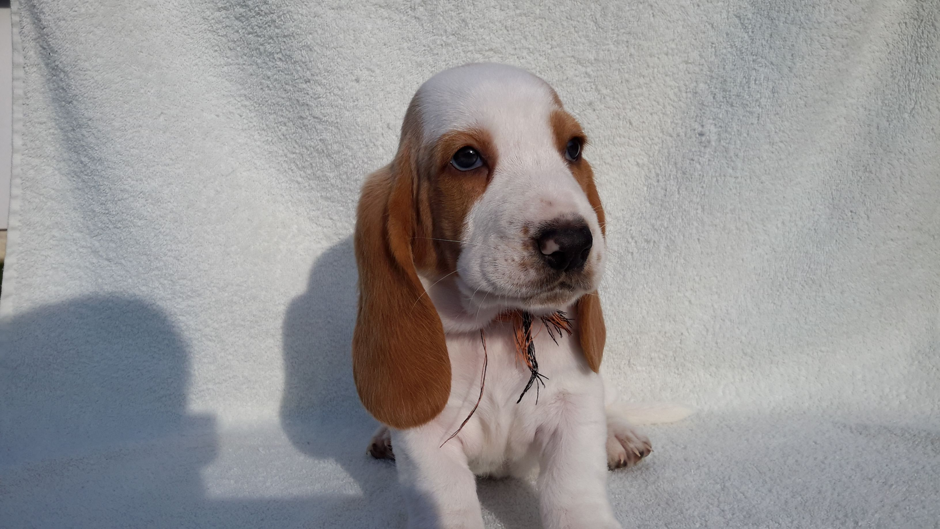 20160904 170304 compressed SaSa ReSi Bassethoundkennel