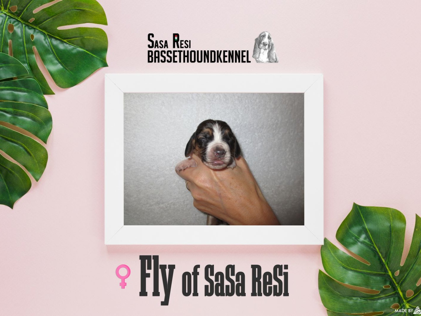 Fly1 uai SaSa ReSi Bassethoundkennel