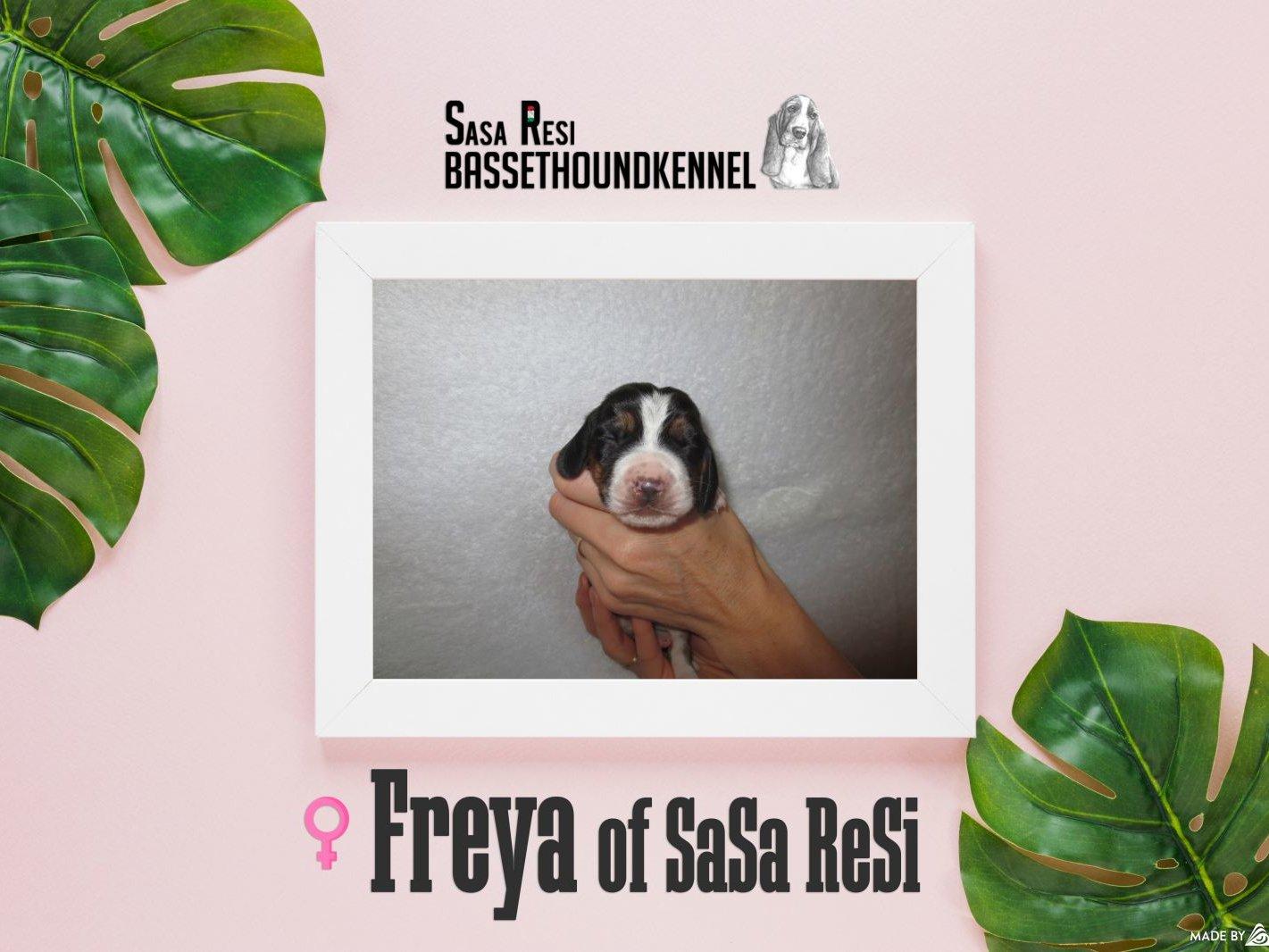 Freya1 uai SaSa ReSi Bassethoundkennel