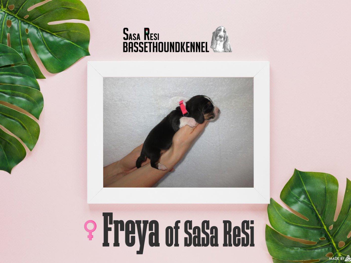 Freya2 uai SaSa ReSi Bassethoundkennel