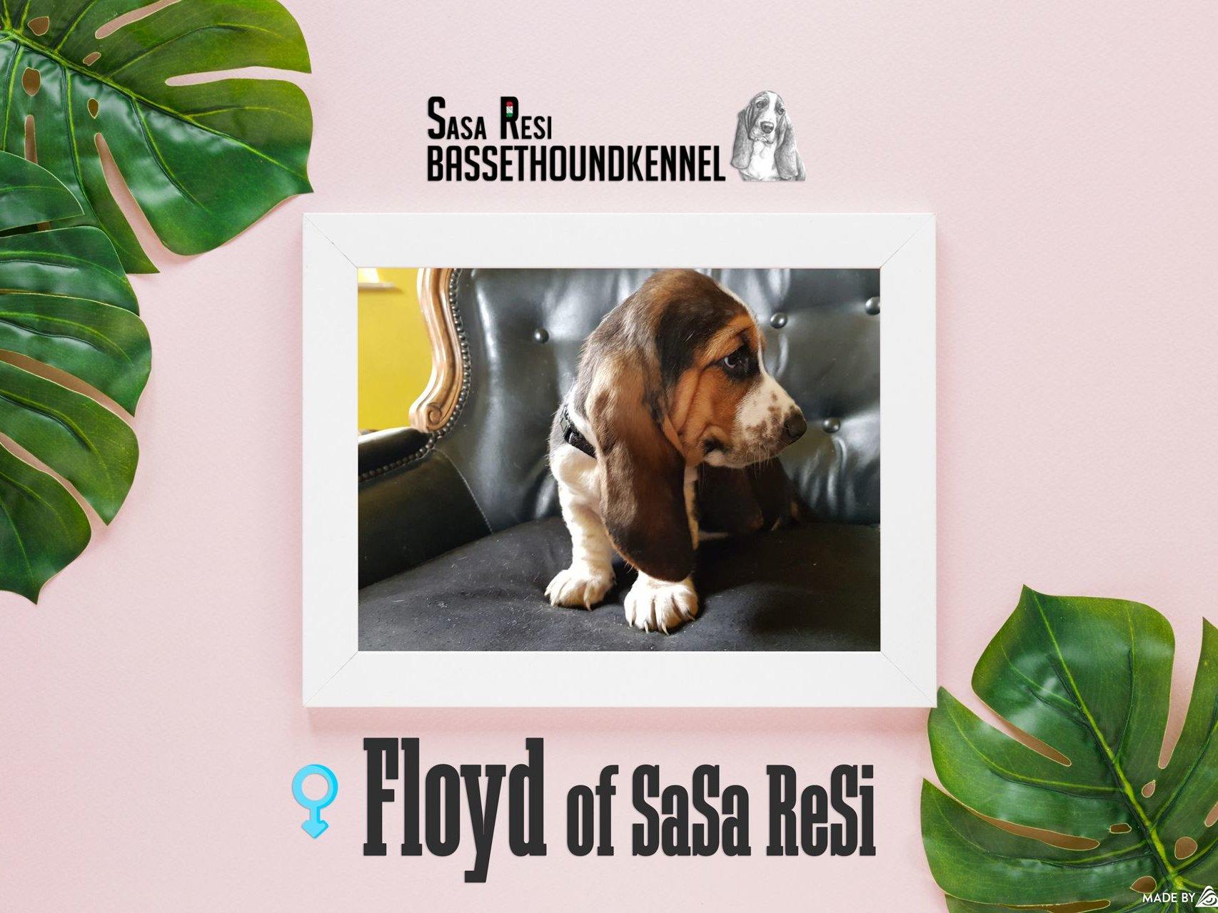 floyd 1 uai SaSa ReSi Bassethoundkennel