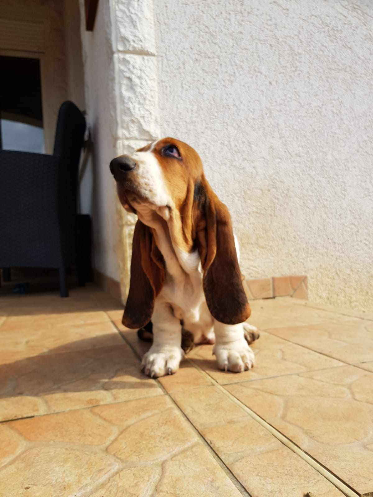 WhatsApp Image 2019 08 18 at 11.31.09 1 SaSa ReSi Bassethoundkennel